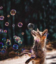мыльные пузыри, красивые картинки,лиса Лисы, лисички, fox, foxes, рыжие, хитрые,