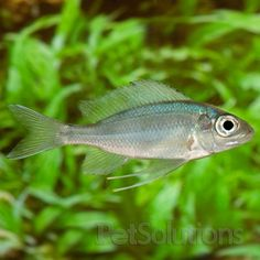 Blue Gold Tip Cichlid