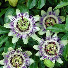 Clematis Montana Rubens, Garden Planning, Garden Inspiration, Indoor Plants, Garden Design, Dandelion, Pergola, Flowers, Feng Shui