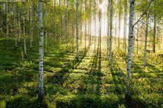 Auringonnousu koivikossa - aamu koivumetsä koivikko metsämaisema aurinko aurinkoinen hennonvihreä kasvi kesä suvi kesämaisema koivu lehtipuu maisema metsä monta puu puut runko rungot toukokuu toukokuinen vehreä vihreä alkukesä aluskasvillisuus auringonnousu