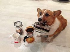 Coffee Corgi | The 40 Most Important Corgis Of 2013