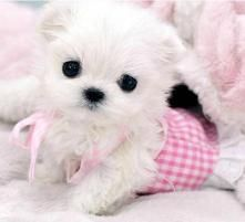 Teacup Maltese Puppies Pictures When buying maltese teacup puppies . awwwwwwwwwwwwwwww so adorable! Micro Teacup Puppies, Teacup Maltese, Tiny Puppies, Maltese Dogs, Cute Puppies, Cute Dogs, Tiny Dog, Puppy Pictures, Animal Pictures