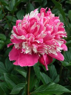 A Gift Wrapped Life - Gifting Tips, Advice and Inspiration: Pink..............as in Peonies and Lattes