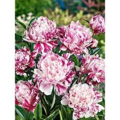 Pivoine Candy Striped