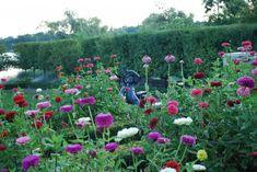 zinnias-cutting garden