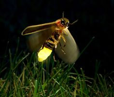 Did you know that some lightning bugs use their flash pattern to find a mate, while others use it to lure mates to their death?