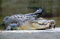A saltwater crocodile holds the forearm of a veterinarian following a grisly attack at Taiwan's Shoushan Zoo (April, 2007).