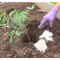 Epsom Salt as a seed starter, a fertilizer, a pesticide or to treat soil.