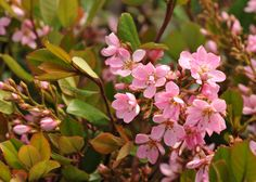 The soft pink, star-shaped flowers, which have a light scent, appear in soft clusters above the lustrous, evergreen foliage, creating a very pretty effect in late spring or early summer. Grow this sun-loving shrub at the base of a south-facing wall where it has protection from cold, drying winds for best effect.