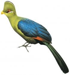 Yellow-billed Turaco (Tauraco macrorhynchus)
