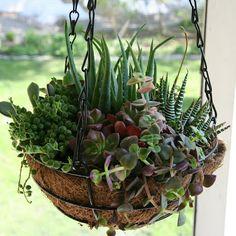Assorted succulents hanging basket: