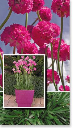 "Plants Management Australia Pty Ltd.Armeria ""Bees Ruby"". Ideal plant to 30cm for gravel gardens, containers and edging."