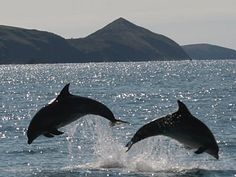 Dolphins leaping in Cardigan Bay, Wales, UK - photograph by Steve Hartley