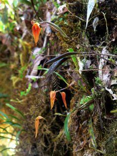 Lepanthes maxonii, visto aqui in situ em Las Tablas, Sul Puntarenas, Costa Rica.  Fotografia por Daniel Jimenez.