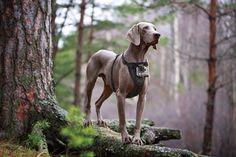 Kurgo Camera Mount Dog Harness mit GoPro Hund