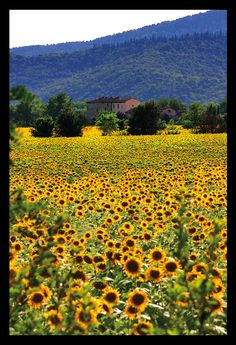 beautiful sunflowers in Tuscany