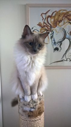 Milla is Ragdoll with her official name Utuinen Culta Cutri.