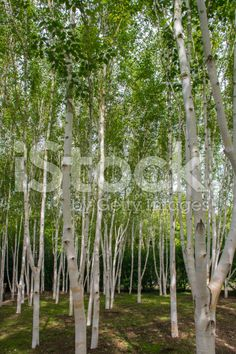 birch trees in summer royalty-free stock photo
