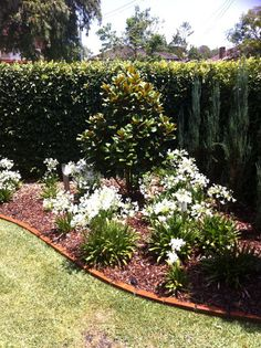 GARDEN DESIGN - cottage style (Teddy Bear Magnolia, Agapanthus 'Snow Ball Dwarf', Pencil Pine Conifer) - Matts Garden Sydney, Gardeners, Greystanes, NSW, 2145 - TrueLocal