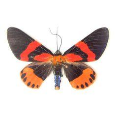 Geometridae - Milionia rawakensis