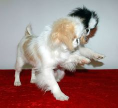 In this article, you will find all the information a dog owner needs with regard to puppy training. Cute Puppies, Dogs And Puppies, Doggies, Japanese Chin Puppies, Puppy Mills, Pekingese, Puppy Pictures, Dog Quotes, Dog Walking