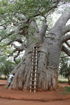 9 great Limpopo attractions from South African Tourism Le Baobab, Baobab Tree, Holiday Destinations, Travel Destinations, Beautiful Places, Beautiful Pictures, Tropical, Dearly Beloved, Tree Houses