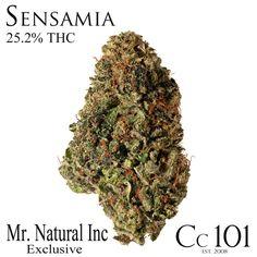 Sensamia is a exclusive strain from @bobnatural at Mr. Natural Inc. It's a cross between Sensi star and Thai Kush. #420 #macro #cc101