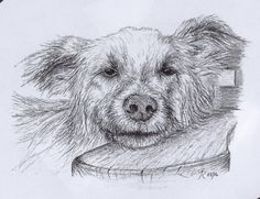 Fine Art - Pencil illustrations of animals/wildlife by Tamalia Reeves-Pyke.To see more of my illustration work visit my Illustration board on Pinterest.