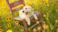 High Resolution Wallpapers golden retriever puppy backround - golden retriever puppy category