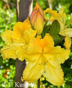 Rhododendron Marabella