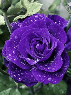 Beautiful Rose Flowers, Purple Roses, Creative Crafts, Plants, Gardening, Pictures, Nature, Beautiful Flowers, Crystals