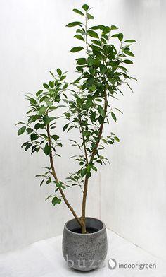 Potted Trees, Potted Plants, Indoor Plants, Nature Plants, Foliage Plants, Planting Flowers, Flower Gardening, Mini Bonsai, Spa Design