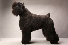 Bouvier de Flandres  Westminster's Best of Breed - Photographs - NYTimes.com