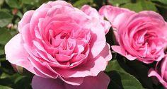 Rosen pflanzen - Mein schöner Garten