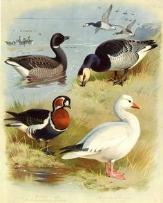 Geese - Brent, Red-breasted, Bernacle, Snow