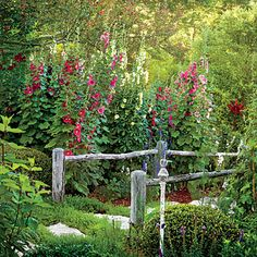 Grow the Perfect Hollyhocks | These spectacular perennials regularly reach 8 feet—and taller!