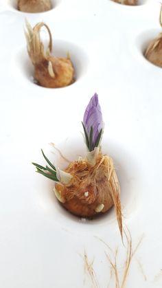 Il lrimo fiore di zafferano nato nella nostra serra aeroponica