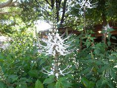 ネコノヒゲ Orhosiphon aristatus (別名:クミスクチン、キャッツウイスカー) 常緑性 多年草(ただし日本では一年草扱い) インドから東南アジア原産 花期: 6-11月頃(白色) 草丈: 40~70cm 日照: 日なた 白い花から伸びる雄しべや雌しべを猫のヒゲの様であることからこう呼ばれる。暑さに強く、乾燥に気を付ければ、夏の間中涼しげな花を咲かせる。寒さには弱いので、日本では一年草として扱われる。