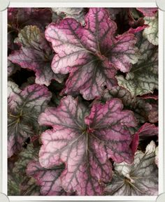 Heuchera 'BlackBerry Ice'   Heucheras   Another fine Proven Winner selection that starts the sprint with a glowing purple and silver.  As the season warms up the silver takes over.  Vigorous grower that radiates again as the cooler season sets in. A new staple in the shade garden.  New for 2014 Height: 10-12 inches Width: 12-18 inches Leaf Color: Silvery Purple Z