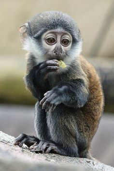 Baby Le Hoest Monkey by peterdc8, via Flickr
