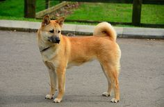 Also known as the Jindo, the Korean Jindo dog breed comes from Jindo Island in…