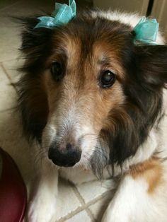 handsomedogs: Hi, my name is Cassie and I am a fierce 10-year-old sheltie who loves pretty bows and fine kibble.