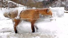 Beautiful Pictures Of Fox frozen in block of ice after falling into freezing lake in Germany