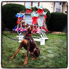 Christmas sleigh indy Doberman