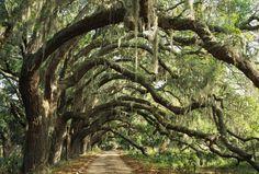boat-sh0es:  innerbohemienne:  Ancient live oak trees (Quercus virginiana) in Georgia   ☺️