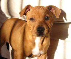 staffordshire pup!!!