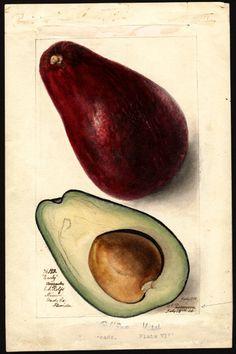 Persea: Early Author(s):Passmore, Deborah Griscom, 1840-1911 Subject(s):Persea , avocados Year:1906