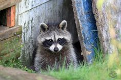 "Raccoon in Ontario I do not share exact locations. Our wildlife should be protected and when locations are shared these animals are put at risk. Please do not ask. Any comments ""outing"" the locations will be deleted.... All of my photographs/video are Copyright © Megan Lorenz, All Rights Reserved. They may not be used in whole or in part for artistic reference, blogged, reproduced, redistributed, copied or manipulated for commercial or personal use under any circumstances without a licens..."