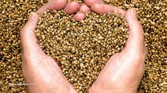 Why everyone should be eating more hempseed | Revered for their life expectancy of 100+ years, inhabitants of Bama Yao live in one of the few longevity hotspots of the world. Sharing similar characteristics with other long-lived people, residents of Bama Yao thrive on a nutrient-rich diet and enjoy a pristine environment. The secret to their exceptional life span, however, appears to be their high intake of hempseed.