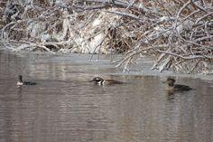 Hooded Mergansers ©Steve Frye. Wild Bird Company - Boulder, CO, Saturday Morning Bird Walk in Boulder County - December 26, 2015.
